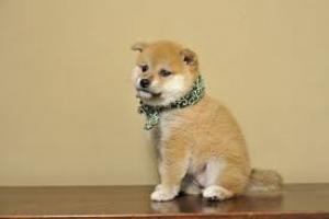 machos y hembras cachorros disponibles de shiba inu