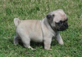 Adorable cachorros de carlino pug para adopciones