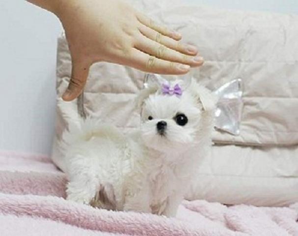 Regalo preciose cachorros Bichon maltes mini toy gratis.