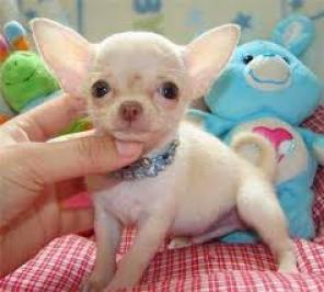 Tenemos dos adorables cachorros de Chihuahua disponibles
