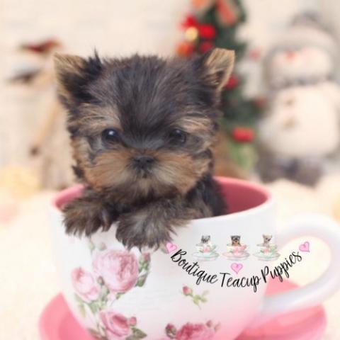 adorable cachorro de Yorkshire Terrier