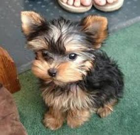 adorable cachorro de Yorkshire Terrier