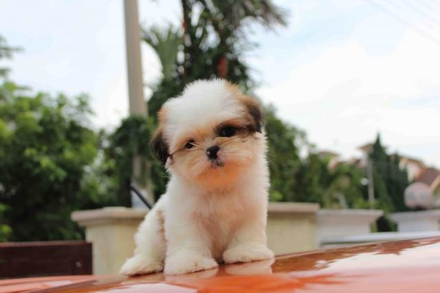 Regalo cachorros toy de Shih Tzu mini para adopcion