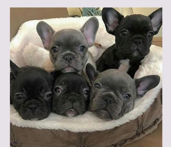 Lindos cachorros de bulldog francés