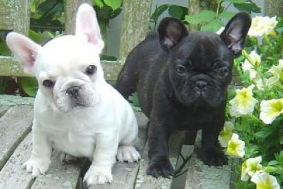 Cinco cachorros de Bulldog Francés Lindos disponibles