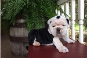 Hermosa camada de perros Bulldog Inglés
