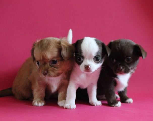Regalo mini toy cachorros de raza chihuahua para adopcion