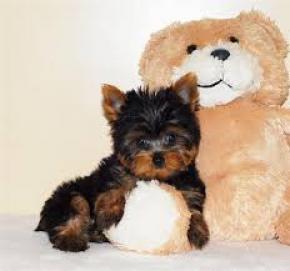 Regalo lindo cachorro de Yorkshire para la adopción .