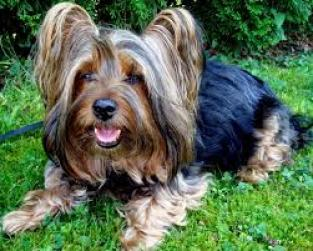 Regalo lindo cachorro de Yorkshire para la adopción.