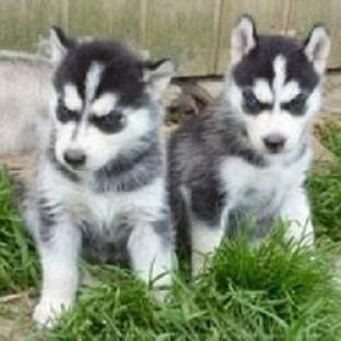 Regalo adorables siberian husky cachorros gratis