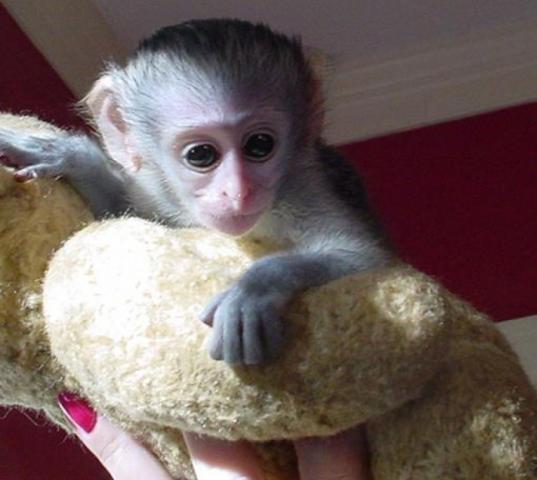 Mono capuchino de cara blanca para
