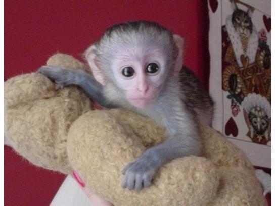 Regalo Monos capuchinos para adopción