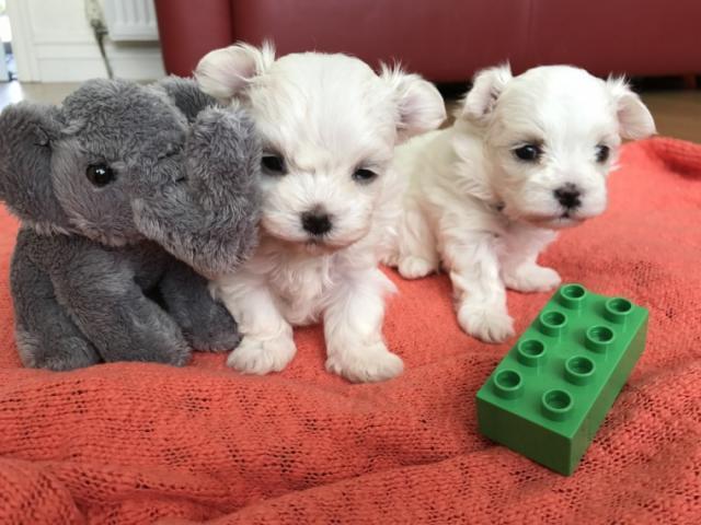 Regalo cachorros maltes Para adopcion