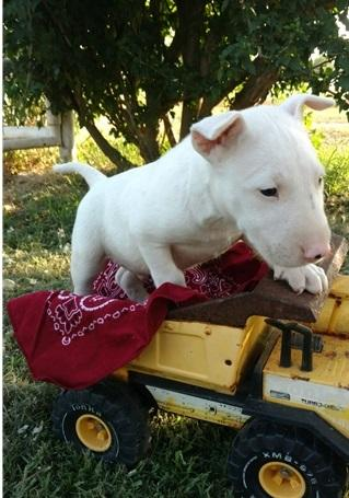 Regalo Cachorros Bull Terrier Minatura en adopcion