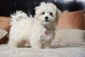 preciose cachorros Bichon maltes mini toy gratis de para adopcion