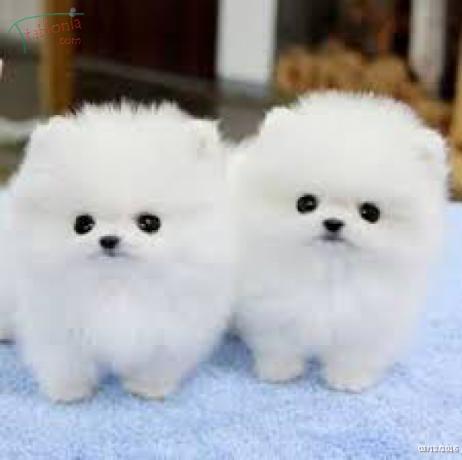 Gratis Preciosos cachorros de Pomerania