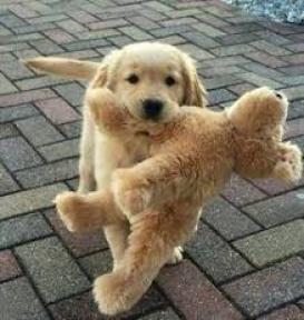 Cachorros de Labrador Retriever,..............sheller
