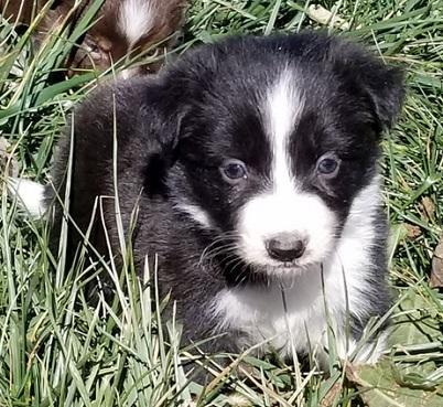 Lindo Border collie Cachorros Para Adopcion