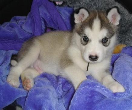 Regalo adorables alaskan malamute cachorros para adopcion