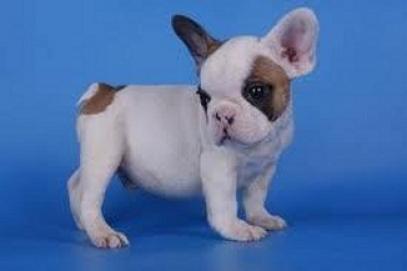 Regalo lindo bulldog frances cachorros para adopcion