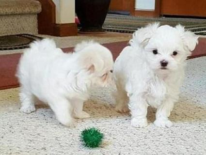 Regalo muy bonito miniatura mini toy cachorros de bichon maltes
