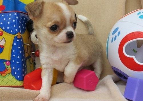 Cachorro Chihuahua tamaños mini con microchip