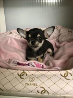 Hermosos cachorros de Chihuahua 3 meses vacunados y desparasitado