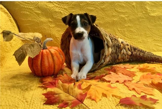 dulce impresionante cachorros Jack russell buscando una casa
