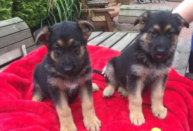 cachorros pastor aleman se entregarán vacunados, desparasitados