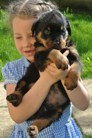 Increíble Pastore Aleman Cachorros Para Su Adopción