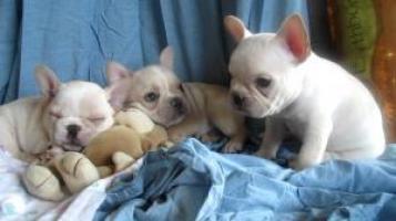 Regalo cachorros bulldog frances impresionante