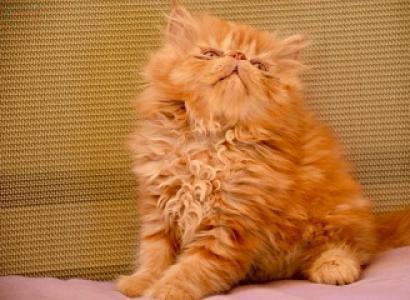Regalo gatitos Persa Estos lindos