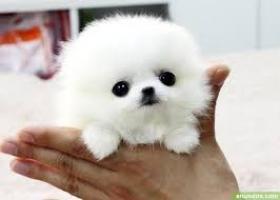 Regalo lindo cachorro de lulu pomerania para la adopción.