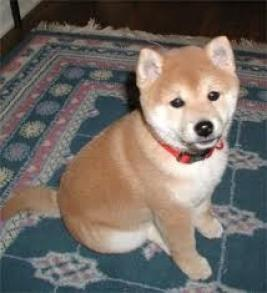 Regalo dulce shiba inu cachorros para adopcion