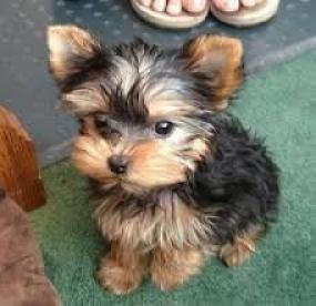 Adorable AKC registró Yorkshire terriers