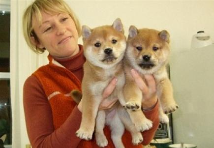 Regalo adorables shiba inu cachorros para adopcion