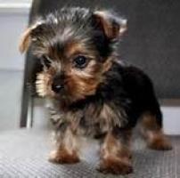 Regalo cachorro yorkshire para la adopcion