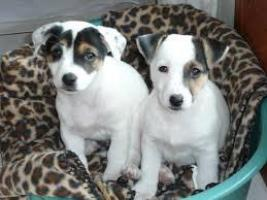 Regalo jack russell cachorros adorables disponibles