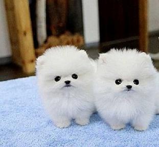 Regalo lindo mini pomeranian toy lulu cachorros para la adopc