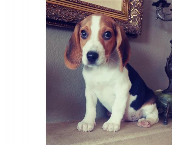 Regalo Beagle cachorros buscando una casa