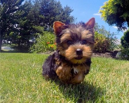 Regalo preciosa yorkshire terrier minin toys gratis