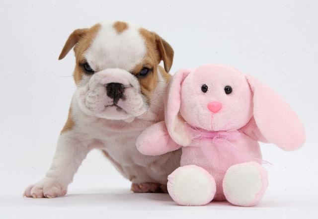 Regalo Bulldog inglés para adopcion