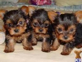 maravillosos cachorros de yorkshire