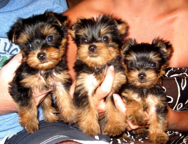 capas de cachorros yorkshire