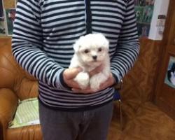 Bichon maltes puppydiamond