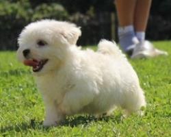 Bichon maltes puppydiamond..reallio