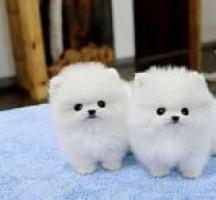 Dos impresionantes cachorros Pomeranian T-Cup
