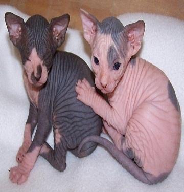 Regalo lindo gatos sphynx preciose bebe
