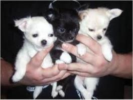 Regalo cachorros de Chihuahua para volver a casa
