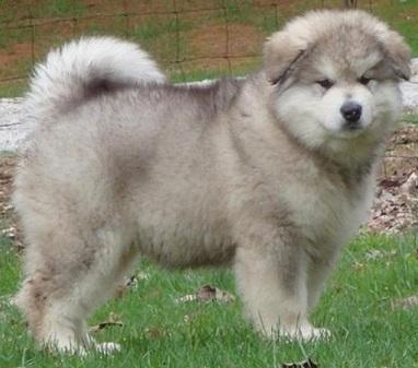 Regalo cachorros alaska malamute